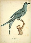 Drongri from the Book Histoire naturelle des oiseaux d'Afrique [Natural History of birds of Africa] Volume 4, by Le Vaillant, Francois, 1753-1824; Publish in Paris by Chez J.J. Fuchs, libraire 1805