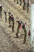 Guyot pruned vines in the vineyard. Sand. Chateau Giscours, Margaux, Medoc, Bordeaux, France