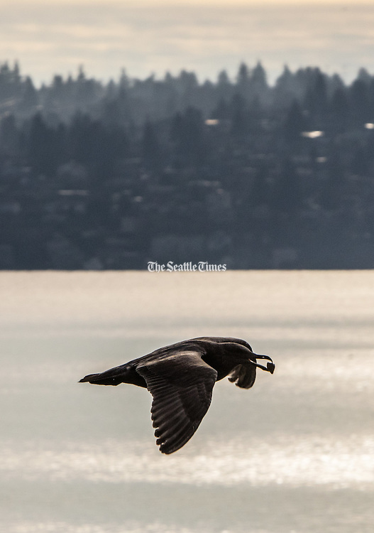 With the sun shimmering off Lake Washington, a seagull cruises by Seward Park on its way to an on-land bite. (Steve Ringman / The Seattle Times)