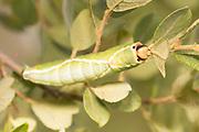 Puss moth larva (Cerura vinula) 5th instar on scrub willow. Thursley Common, Surrey, UK.