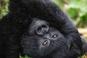 This gorillababy from Rwanda was posing eagerly for the photographer. I think he saw himself in the camera lens. I have added a litte paint art effect in Photoshop   Denne gorillaungen fra Rwanda poserte ivrig for fotografen. Jeg tror den så seg selv i kameralinsa. Jeg har lagt till litt malerisk effekt i Photoshop.