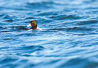 """Greater Scaup (Aythya marila) or colloquially known as """"Bluebill"""", is a small diving duck. Flocks of these ducks often wither in the Chesapeake Bay and are hard to identify because they stay way off of shore."""