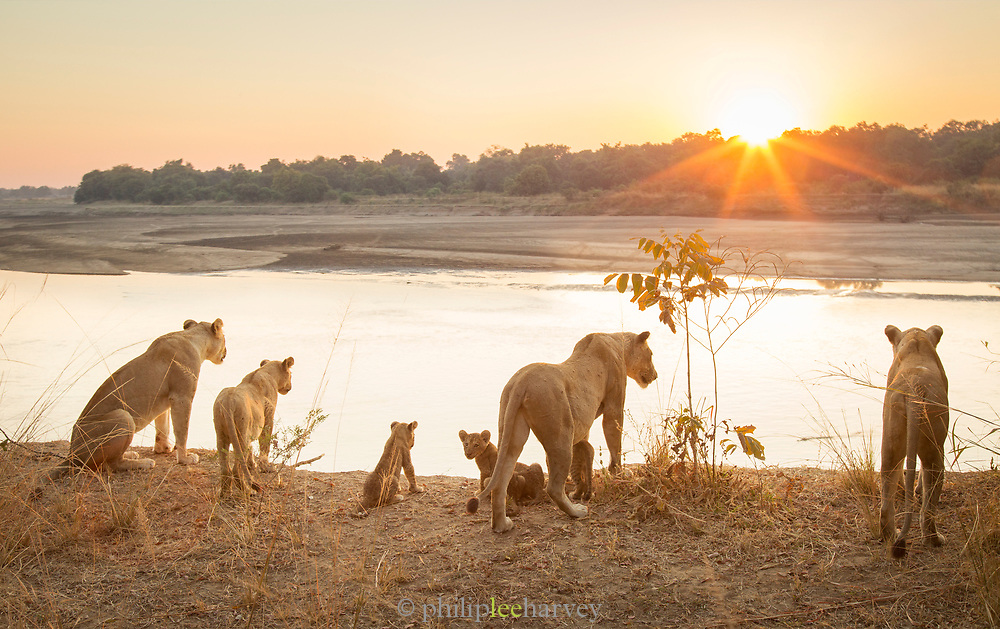Lionesses with cubs by river at sunset in South Luangwa National Park, Zambia