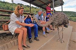 Tourist Feeding Ostrich