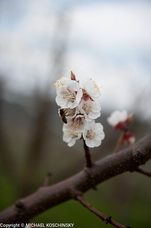 Apricot Blossoms with Bee