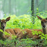 Whitetail Deer (Odocoileus virginianus) does bedded down during midday in a cedar grove. Minnesota