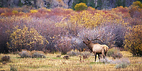 A bull elk let's his voice be heard in the early morning at Grand Teton National Park during fall foliage in Moose, Wyoming.