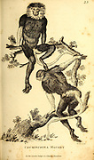 cochinchina monkey from General zoology, or, Systematic natural history Part I, by Shaw, George, 1751-1813; Stephens, James Francis, 1792-1853; Heath, Charles, 1785-1848, engraver; Griffith, Mrs., engraver; Chappelow. Copperplate Printed in London in 1800. Probably the artists never saw a live specimen