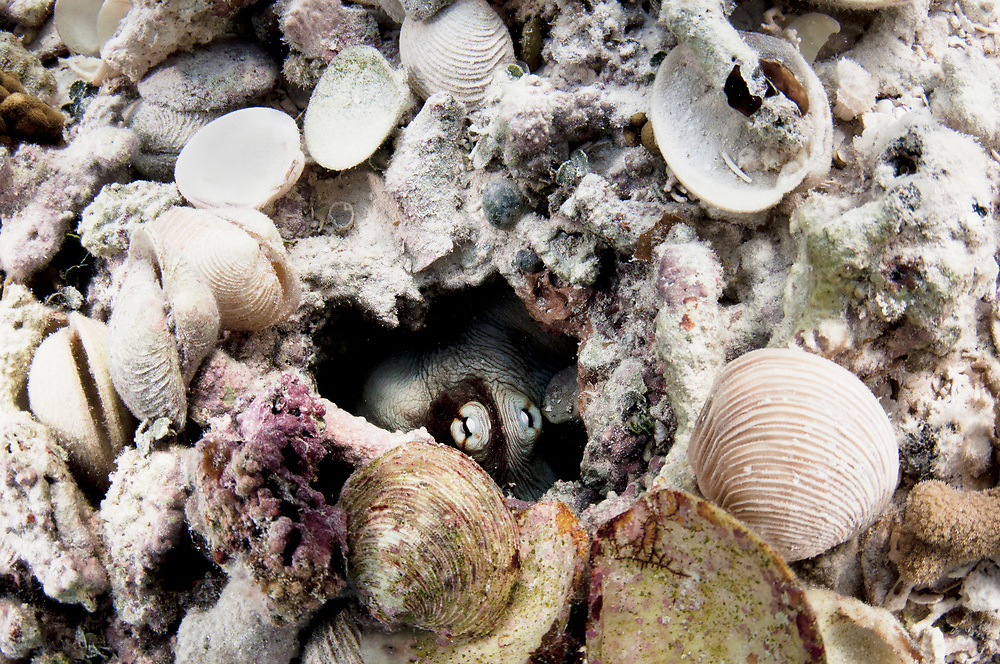 Common octopus (Octopus insularis) hiding in her den surrounded by empty shells, the remains of her meals. Eleuthera, Bahamas.