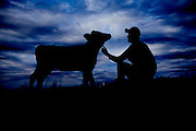 Farmer with a young calf in his failed at sun rise silhouetted on a amazing skyline shot as a Environmental Portraiture on a Fuji