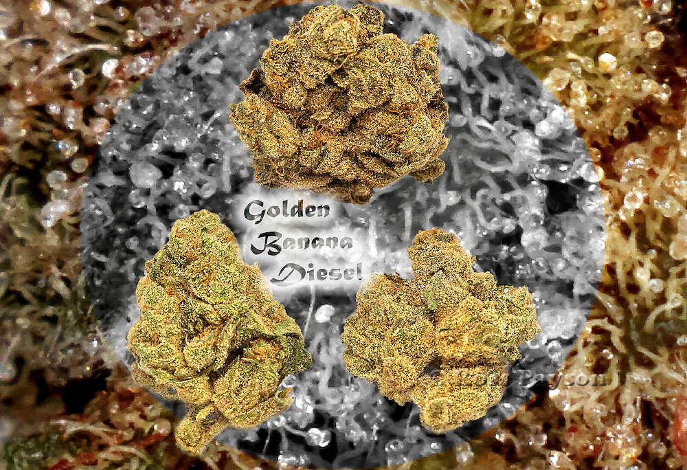 Nug photo of Golden Banana Diesel and trichromes