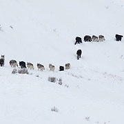 The Wapiti gray wolf (Canis lupus) pack on the Blacktail Plateau. Yellowstone National Park, Wyoming