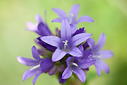 Chiltern Gentian, Gentianella germanica, Romania