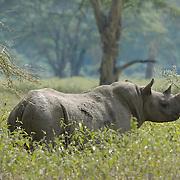 Black or Hooked Lipped Rhinoceros (Diceros bicornis) in Lake Nakuru National Park, Kenya, Africa.