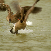Two Canada Geese fight for territory at the Gypsum Ponds in Colorado.