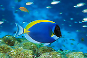 powderblue surgeonfish or powder-blue tang, <br /> Acanthurus leucosternon,<br /> Similan Islands, Thailand ( Andaman Sea, Indian Ocean )