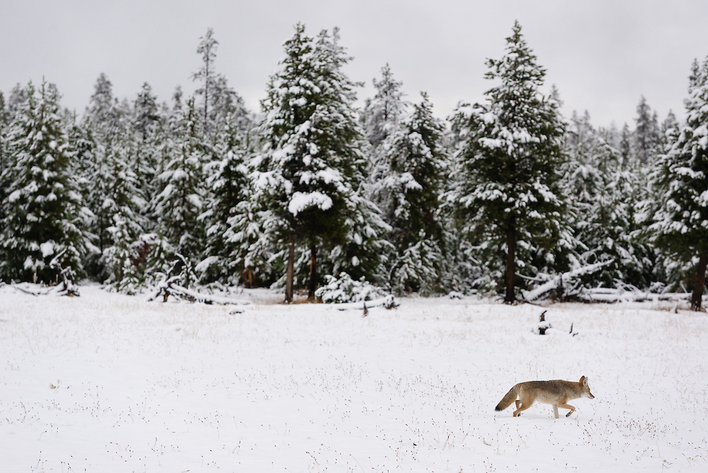 A coyote walks across a meadow after an early fall snow, Yellowstone