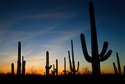 A group of Saguaro cactus silhouetted by the evening sky in Arizona. Missoula Photographer