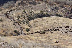 Long lines of bison on move across rolling hills during bison roundup, Ladder Ranch, west of Truth or Consequences, New Mexico, USA.