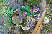 Birdhouse nestled in stump surrounded by purple Impatience flowers and tree fungi. Clitherall Minnesota MN USA