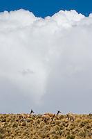 VICUÑAS (Vicugna vicugna) EN LA PUNA, PROV. DE JUJUY, ARGENTINA