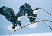 Alaska. Bald Eagle (Haliaeetus leucocephalus) perch on driftwood during snow storm., male and female pair. Mate for life.  One to three chicks per season. Males can grow up to 9lbs in weight, 50,000 bald eagles live in Alaska.