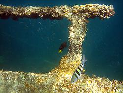 Fish swim near the Antilla shipwreck.