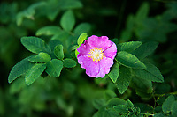 One of the several wild roses found in the Pacific Northwest, the Woods' rose often prefers a drier habitat, and is often found along riversides and streams, such as this one that was found growing in Kent, WA.