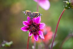 Butterfly on Dahlia 'Blue Bayou'