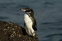 Galapagos Penguin (Spheniscus mendiculus)<br />on Santiago Island, Galapagos.