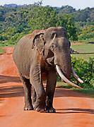 Asian elephant bull with big tusks walking along road towards the camera, Yala National Park, Sri Lanka