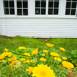 Flowering calendula in the herb garden at the Oakland House Seaside Resort in Brooksville, Maine.  Blue Hill Peninsula.  East Penobscot Bay.