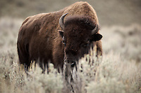 Shy Bison Hiding Behind Grass. Yellowstone National Park. Image taken with a Nikon D2Xs and 200 f/2 VR lens (ISO 200, 200 mm, f/2, 1/800 sec).