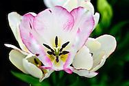 Single Late Tulip 'Candy Club' Keukenhof Spring Tulip Gardens, Lisse, The Netherlands.