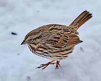 Song Sparrow (Melospiza melodia). Image taken with a Fuji X-T3 camera and 200 mm f/2 lens and 1.4x teleconverter.