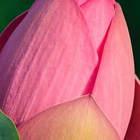 Close-up image of a sunlit closed lotus blossom (Nelumbo nucifera), Kenilworth Park and Aquatic Gardens, Washington, DC.