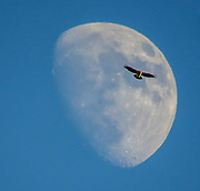 The Red Tale Hawk is flying over the moon.