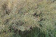 extreme close up of ripening Colza