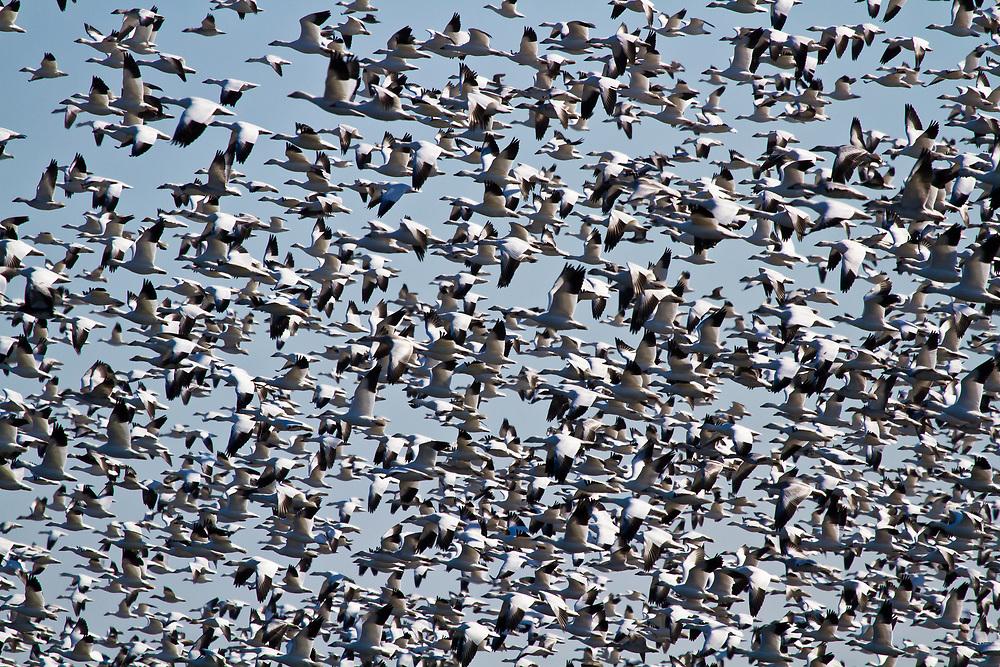 Snow Geese, Prime Hook Wildlife Refuge, Delaware