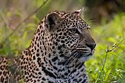 Leopard (Panthera pardus), Masai Mara National Reserve, Kenya.