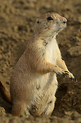 A pregnant black-tailed prairie dog in the Great Plains of Montana at American Prairie Reserve. South of Malta in Phillips County, Montana.