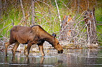 A cow moose after sunrise feeding in the water of the Snake River in Grand Teton National Park, Wyoming.
