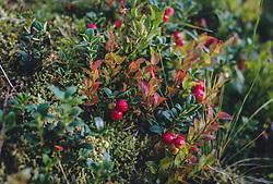 THEMENBILD - rote Preiselbeeren an einem Strauch, aufgenommen am 13. August 2020, Saalbach Hinterglemm, Österreich // red cranberries on a bush on 2020/08/13, Saalbach Hinterglemm, Austria. EXPA Pictures © 2020, PhotoCredit: EXPA/ Stefanie Oberhauser