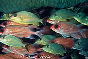 bluestriped grunts, Haemulon sciurus & longjaw squirrelfish, Holocentrus ascensionis, sheltering under giant brain coral, Florida Keys National Marine Sanctuary, Key Largo, Florida ( Western Atlantic Ocean )