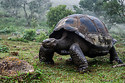 Galapagos Giant Tortoises (Geochelone elephantophus vandenburghi)<br /> Alcedo Volcano crater floor, Isabela Island<br /> GALAPAGOS ISLANDS<br /> ECUADOR.  South America<br /> One of 11 sub-species survising in the islands. This is an example of the dome-shaped sub-species. Alcedo hosts over half the 15,000 tortoises left in Galapagos. All tortoises were heavy hunted for food in the past. Dome-shaped males are double the size of the females. Males stay mainly in the highlands while females migrate towards the coast when they need to lay eggs.