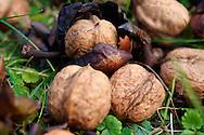 Fresh Walnuts fallen from a tree