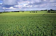 Wheat crop growing and big cloudy sky in countryside near Eye,  Suffolk, England, UK