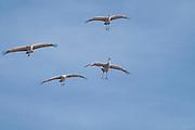 Photograph of Sandhill Cranes landing from Whitwewater Draw Wildlife Area, AZ