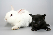 Friendship of a black kitten and white pet rabbit
