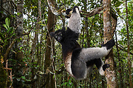 Indri (Indri indri), Andasibe, Madagaskar<br /> <br /> Indri (Indri indri), Andasibe, Madagascar